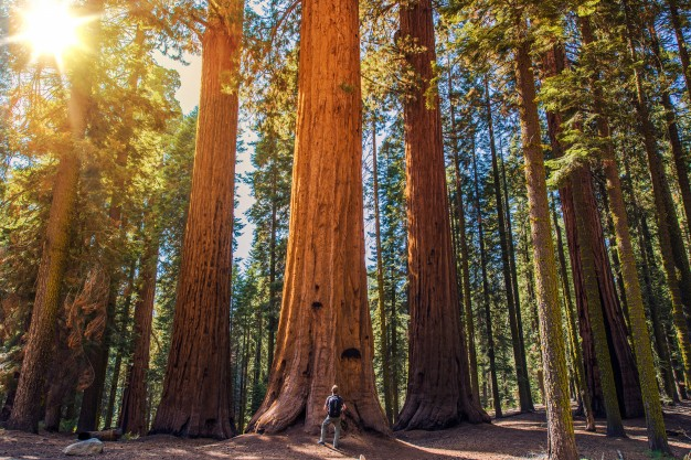 sequoia-vs-man_1426-1349