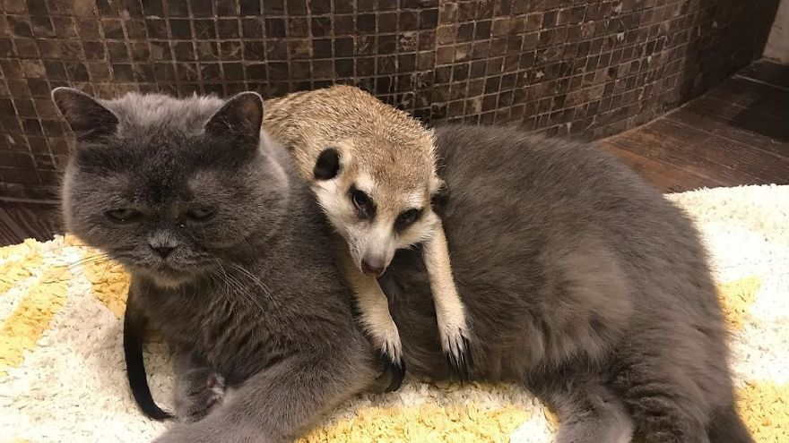 Meet-Meerkat-and-a-St-Petersburg-cat-who-have-been-friends-since-the-first-days-they-met-and-now-conquer-the-internet-5e219f393ae87__880