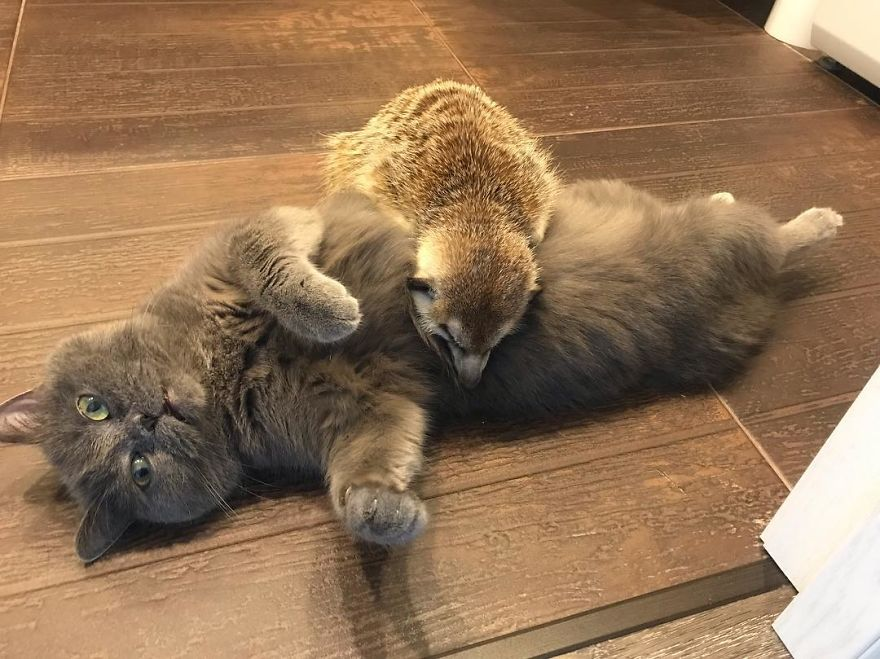Meet-Meerkat-and-a-St-Petersburg-cat-who-have-been-friends-since-the-first-days-they-met-and-now-conquer-the-internet-5e219f3ad51d8__880