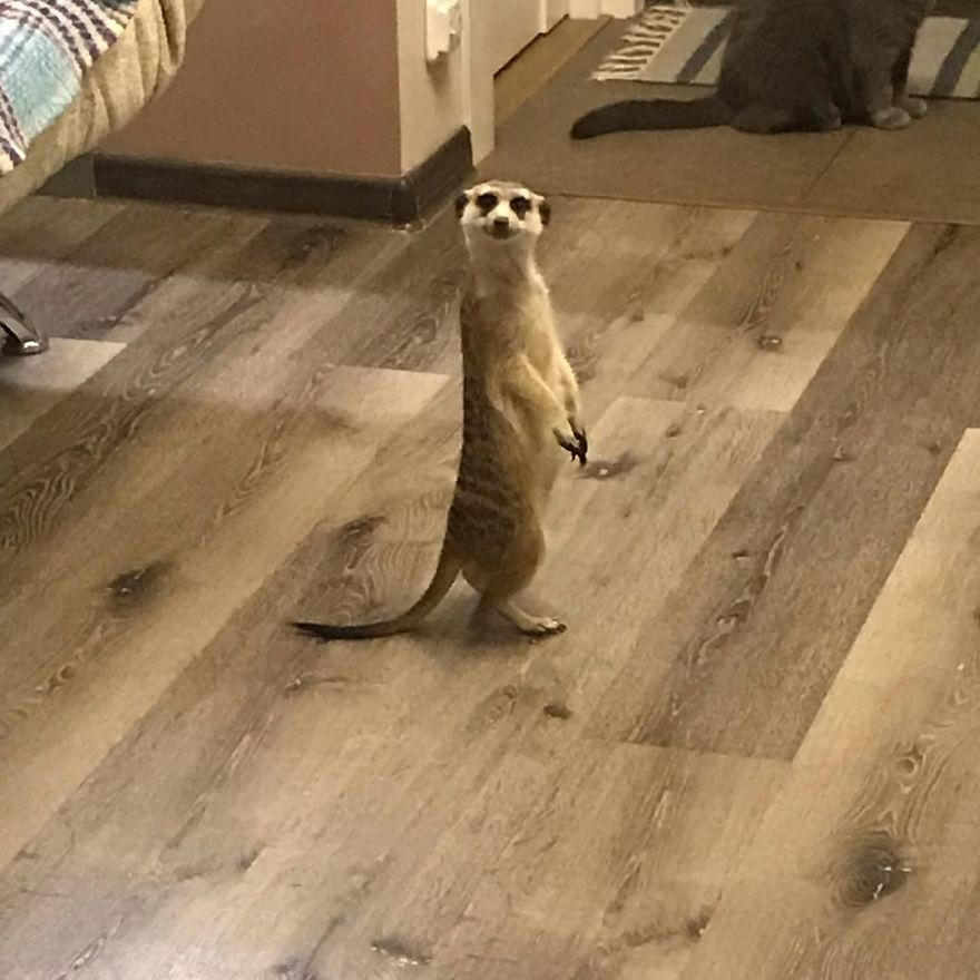 Meet-Meerkat-and-a-St-Petersburg-cat-who-have-been-friends-since-the-first-days-they-met-and-now-conquer-the-internet-5e219f451ad4f__880