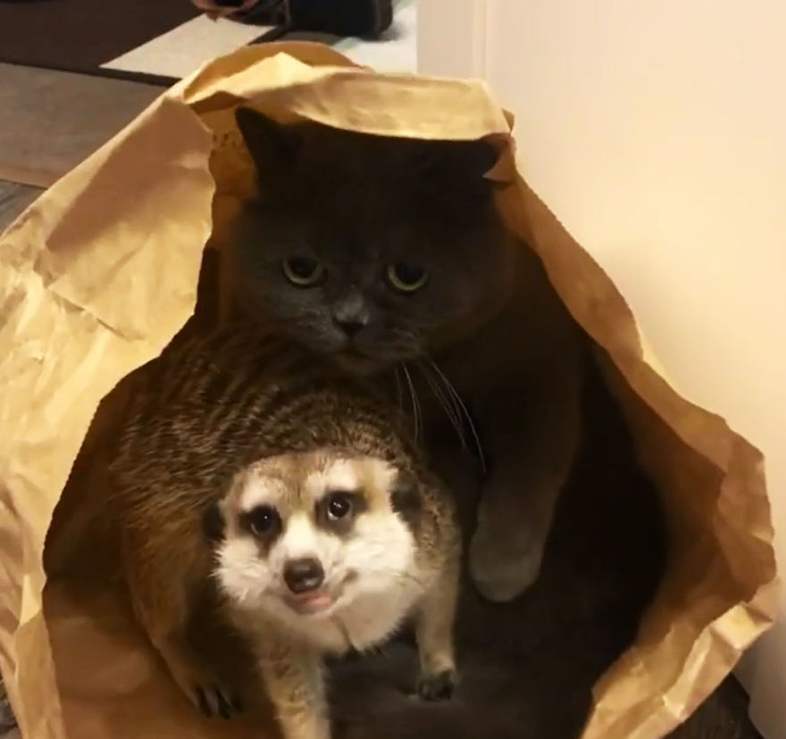 Meet-Meerkat-and-a-St-Petersburg-cat-who-have-been-friends-since-the-first-days-they-met-and-now-conquer-the-internet-5e219f7777216__880