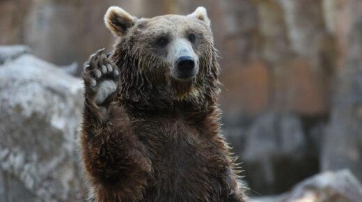 Hatalmas medvelábnyomot találtak a Börzsönyben