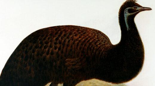 Felfedezték a már kihalt fekete emu tojását